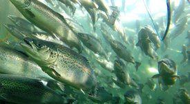 Cermaq: La acuicultura es parte de la solución a los desafíos climáticos