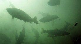 Trabajadores atentos frente a ley que permite pesca de salmones escapados