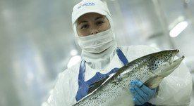 Salmonicultoras chilenas vuelven a posicionarse entre las empresas más rentables