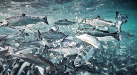 Reconocen a centros con mejores rendimientos para salmón Atlántico y salmón coho