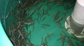 Investigarán ataque incendiario que afectó  a piscicultura de Cermaq en Araucanía