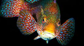 Chilenos participan en capítulo de libro sobre peces limpiadores