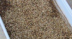 En Puerto Montt: avanza producción de harina de insectos