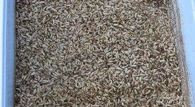 Inclusión de harina de insectos en dietas de agua dulce
