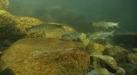Study links escaped salmon to reduction in wild smolts