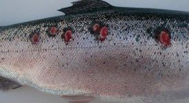 Estudio identifica un nuevo híbrido de Piscirickettsia salmonis