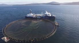Jellyfish and warm water blamed as Huon profits plunge by 64%