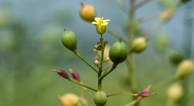 GM camelina offers 'stable and robust' alternative omega-3 source