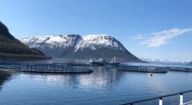 Floración de algas mata 10.000 toneladas de salmón en Noruega