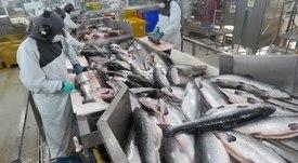 Trabajadores del salmón piden mejoras en sistema de subcontratación