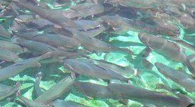 LACQUA19 abre convocatoria para envío de trabajos sobre salmónidos