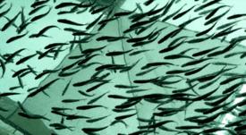 Salmonicultores inyectarán oxígeno a fondos marinos para remediarlos