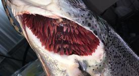 En Chile: Forman consorcio para enfrentar enfermedades branquiales del salmón