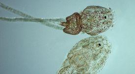 Microorganismos asociados a Caligus podrían ser patógenos para el pez