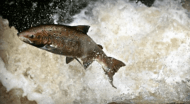 Salmon industry fund gives £70k to wild fish projects