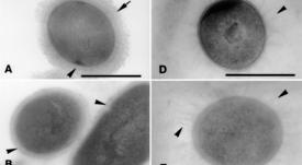 Científicos evalúan el uso de postbióticos en trucha arcoíris