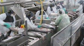 Sernapesca lanza 14 medidas para evitar emergencia sanitaria en la salmonicultura
