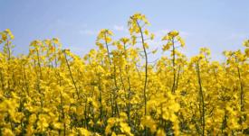 GM ingredient earns sustainable aquafeed certification