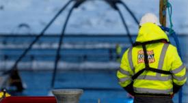Salmonicultora obligada a eliminar 1,3 millones de peces por brote de ISA