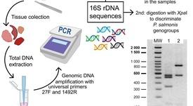 PCR-RFLP: detección de Piscirickettsia en cinco horas y a bajo costo