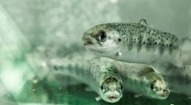 Receptor NLRC3 podría ayudar a predecir el estado inmunológico de salmones
