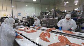 Precios del salmón chileno se recuperan y suben 60% en promedio