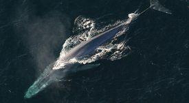 Tráfico de barcos acuícolas podría presentar un riesgo para la ballena azul