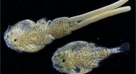 Hendrix y UACh evalúan impacto de resistencia genética de salmón Atlántico a Caligus