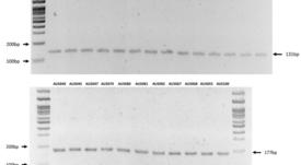 Crean nuevo PCR multiplex para diferenciación de genogrupos de Piscirickettsia