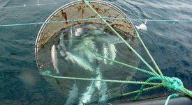 Organizaciones logran receso de causa por vertimiento de salmones en Chiloé