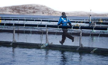 11,500 fish escaped from SalMar site last month