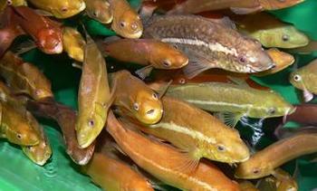 Satser på leppefisk i Sunnfjord