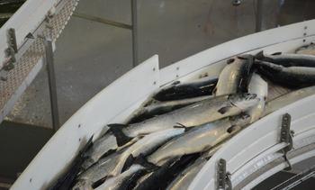Biomassen til den største fisken ble redusert