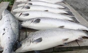 Fiskeridirektoratet: - Ingen har rapportert om hull i not