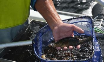 Stopp i fisket etter leppefisk i ope gruppe på Sørlandet