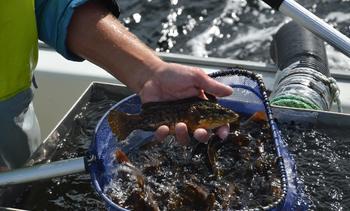 Leppefisk-prisene steg betydelig i år
