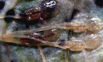 15 lokaliteter over lusegrensen - 9 av dem matfisk