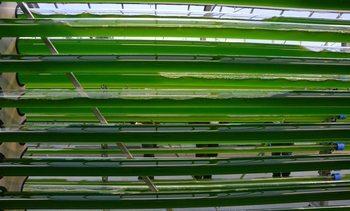 Spanjoler og portugisere leter etter mikroalger som kan brukes i fôr