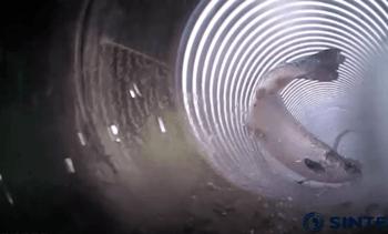 Se fiskens ferd gjennom en mekanisk avluser