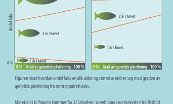 - Genetisk påvirkning fra rømt oppdrettslaks gir færre storlaks