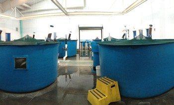 - Bakterie kan erstatte fiskeprotein i fôr