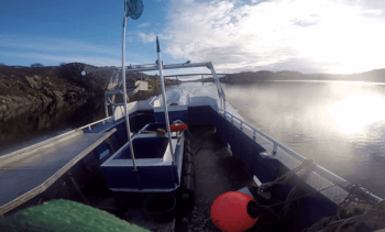 Fire av fem rognkjeks starter livet på Averøya
