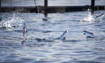 Mye fisk i sjøen