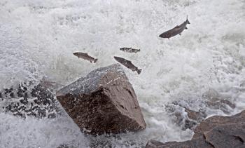 Flere gytefisk i elvene enn før