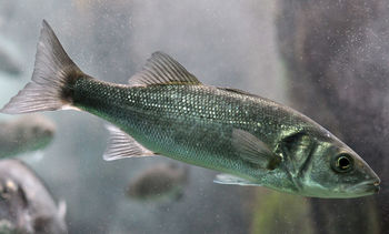 Injectable vaccine for sea bass diseases unveiled