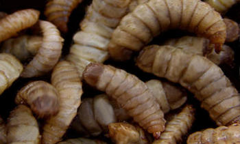 Plan for biggest black soldier fly larvae plant unveiled