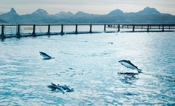 Cermaq fija objetivo de reducir mortalidad de salmón Atlántico