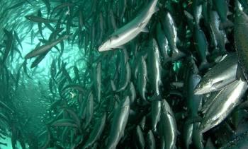 Realizarán taller sobre la vulnerabilidad al cambio climático de la salmonicultura costera de Chile