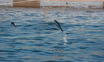 Salmones de Chile y Salmones Aysén piden a Subpesca no restringir siembras