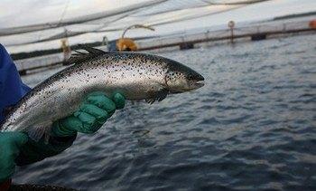 Salmonicultores podrían enfrentar otro año complicado